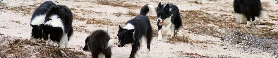 Gawain Border Collie